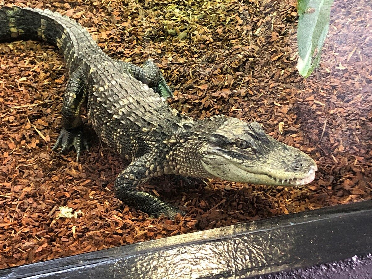 Crocodile climate changes at Shuttleworth