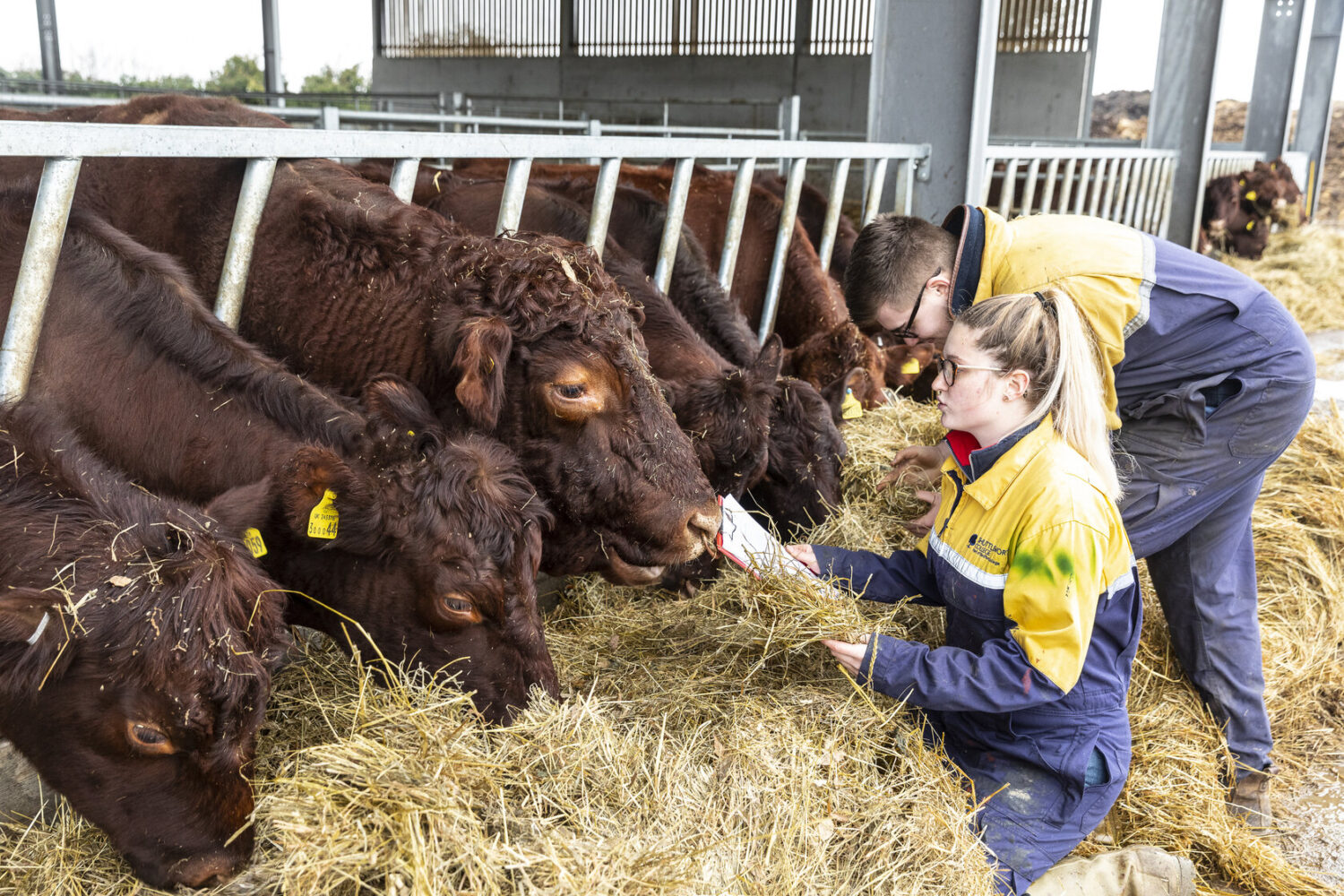 Countryside management Shuttleworth College students and red poll cattle