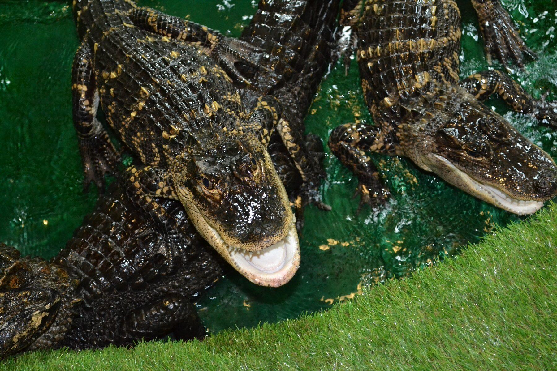 No crocodile fears at Zoo Centre PR Story